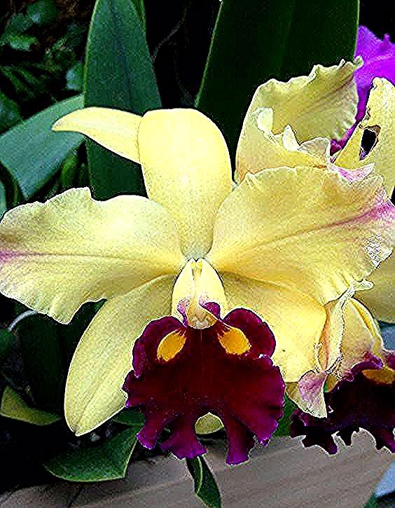 Cattleya Orchid Cattleya Orchid Orchids Christmas Ornaments