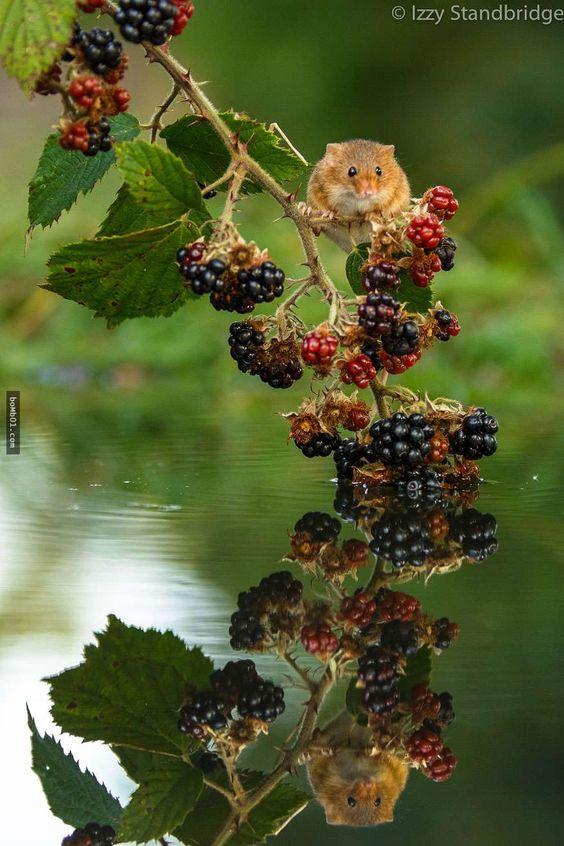 28張極難拍攝的野生小鼠照。雖然我不想在街上看到老鼠,但當牠們生在大自然中實在是很可愛啊! - boMb01