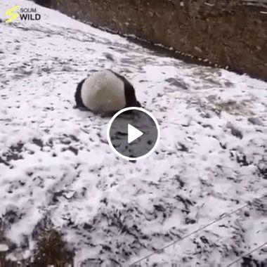Brincadeira de Pandas divertidos.