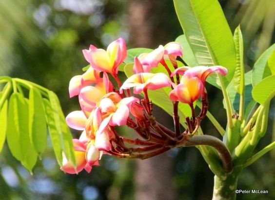 Frangipani, Thailand.  By TG member Mac, on vacation there.