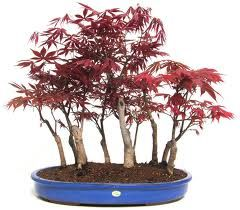 Fagus 3 X bonsai trees starter Picea Acer bare roots free dispatch PP