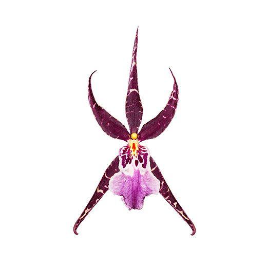 Purple star Orchid... <3