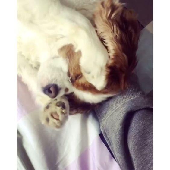 Human has no idea how to play peek-a-boo! 🙊 -------------------------------------------------- #kingcharles #kingcharlescavalier #kingcharlesspaniels #kingcharlesspaniel #kingcharlespuppy #cav #cavalier #cavaliers #puppy #dog #dogs #doggies #puppies #puppylove #pupstagram #dogstagram #rocco #kcc #ckcs #blenhiem #pupper