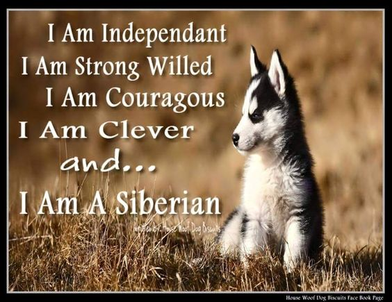 """I am Independent, I am Strong Willed, I am Courageous, I am Clever and... I am a Siberian!"" By House Woof Dog Biscuits."