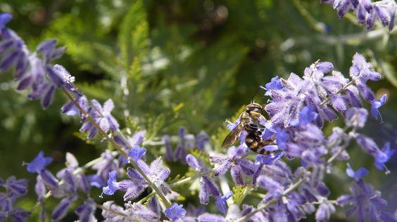 #Abeilles en danger : n'oublions pas de #protéger les espèces sauvages  http://theconversation.com/abeilles-en-danger-noublions-pas-de-proteger-les-especes-sauvages-71240