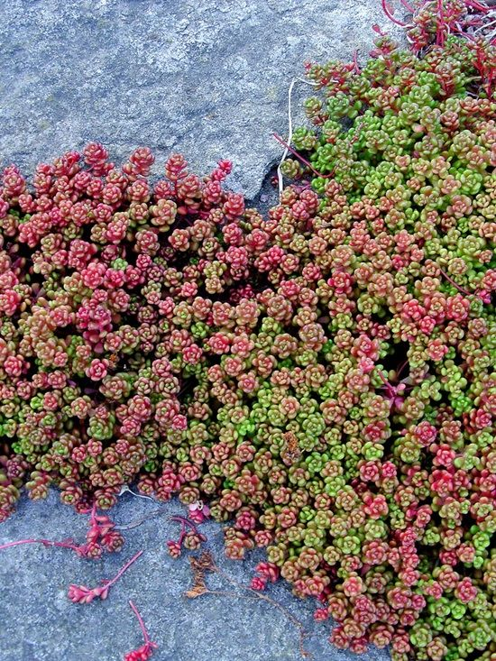 If You Re Tired Of Your Regular Grass Lawn These Gorgeous Creeping Plants Are Great Alternatives They Are An Excellent Plants Sedum Ground Cover Ground Cover