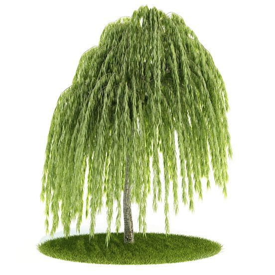 Young Willow Tree | 3D model | Green trees, Willow tree, Plants