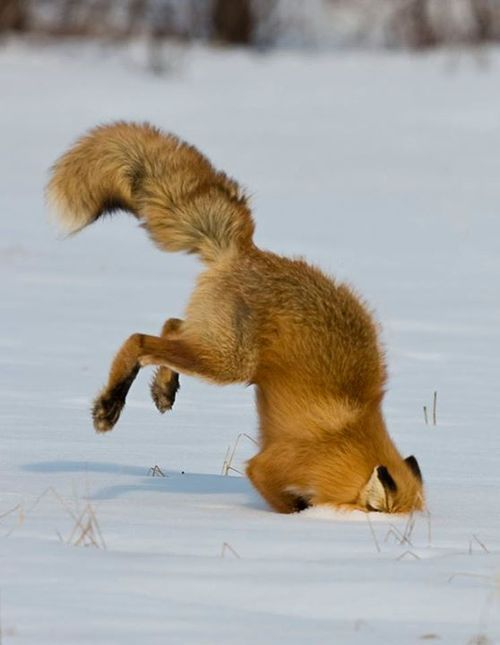 A red fox dives head first into the snow at Kanuti National Wildlife Refuge in Alaska. Photo courtesy of Mary Frische.