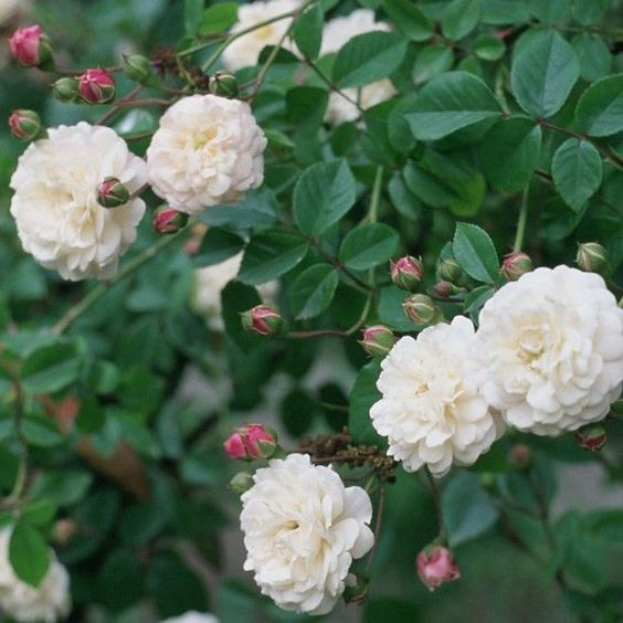 Rosier Liane Felicité et Perpétue - Rose ancienne  Un rosier qui pousse partout, même dans les terres sèches et ingrates. Cette variété ancienne et grimpante épanouit en fin de printemps de grosses grappes de petites roses en pompons serrées blanc-crème, au parfum de primevère, mêlées à de délicieux boutons rose vif. Végétation vigoureuse, feuillage presque persistant, formant une masse touffue. Sans conteste l'un des rosiers lianes les plus fiables, rarement malade, qui ne décevra pas.