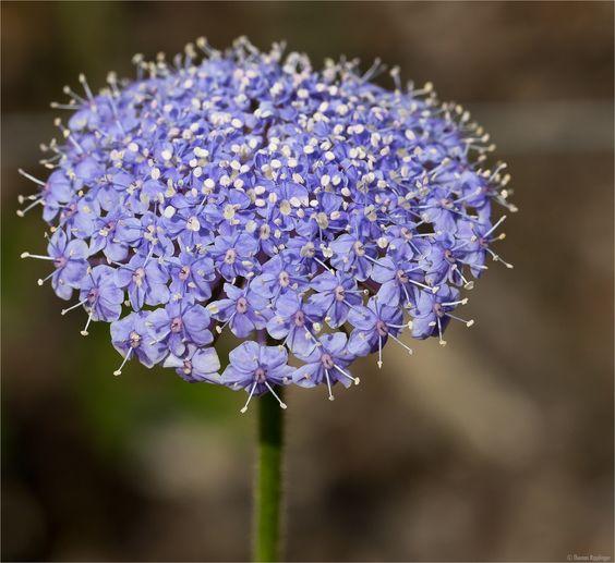 Trachymene coerulea, umgangsprachlich Blaue Raudolde, Blaudolde, gehört zu den Ein- und Zweijährigen.  Die Blaue Raudolde ist eine Art aus der Gattung Trachymene, die 45 Arten umfasst und zur Familie der Apiaceae (Doldenblütler) gehört.  Trachymene coerulea stammt aus West-Australien.  IHJ_6876  [fc-foto:28719353]