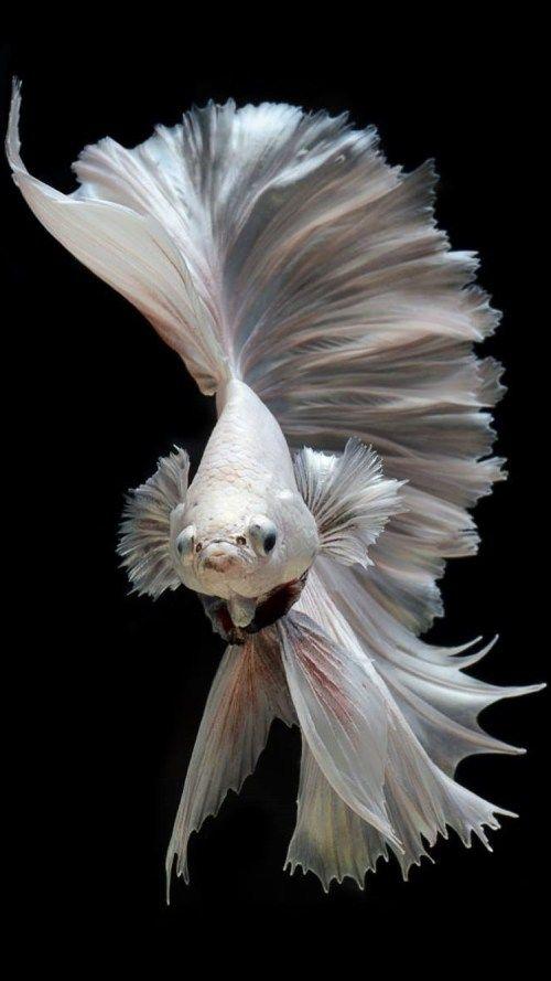Pin On Lieux A Visiter Betta fish wallpaper gif betta fish my
