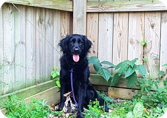 Amherst, OH - Flat-Coated Retriever/Spaniel (Unknown Type) Mix. Meet…