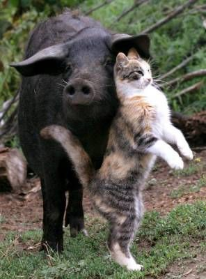 Cat and pig? I think the cat is just using the pig for her own pleasure. Shame on that cat.