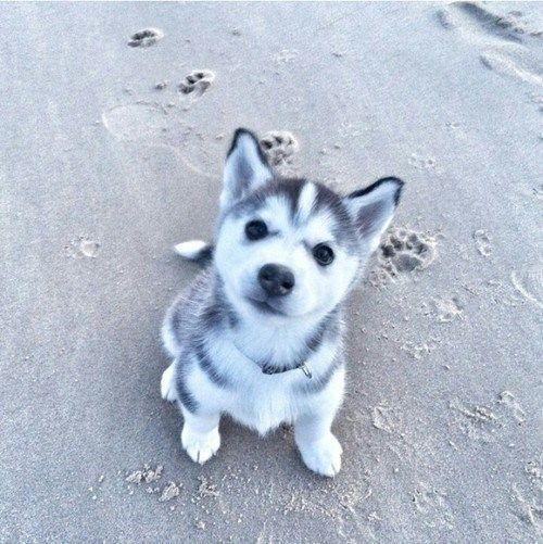 Husky Puppy at the Beach                                                                                                                                                                                 More #DogAndPuppies