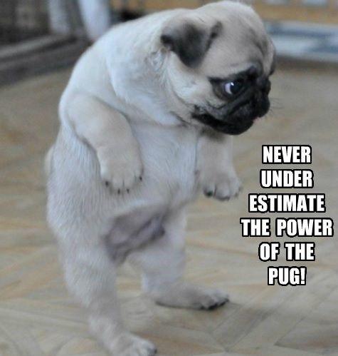 Pug Memes Howling A Good Time 23 Memes Cute Pugs Baby Pugs Pugs