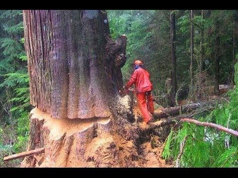 Pin On Trees Cutting Felling Trees Best Woodworking S Channel