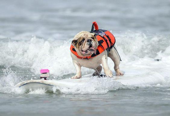 Betsy, un bouledogue anglais de 7 ans, très à l'aise lors de la compétition annuelle de surf pour chiens à San Diego (Californie), le 8 juin 2012.   GUS RUELAS / REUTERS