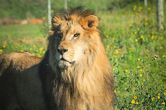 Two Lions Make a 10,000-Mile Journey From the Circus to Freedom