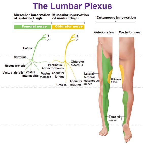 lumbar plexus muscular innervation and cutaneous innervation | pt, Muscles