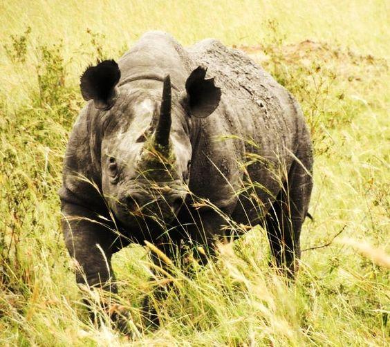 Black Rhino, Masai Mara Kenya