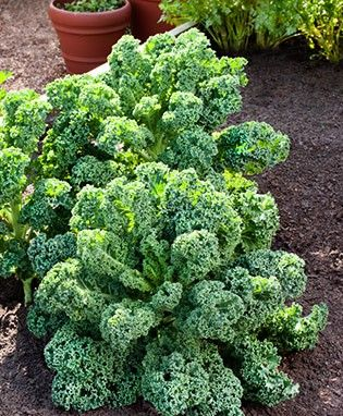 Winterbor Kale -A very cold hardy Dutch hybrid, this pretty blue-green kale will keep you supplied for months. Vigorous producer. Cut outer leaves so that center can continue growing. Space transplants about 12 inches apart.