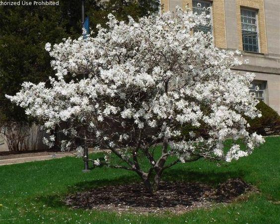 Royal Star Magnolia Ornamental Tree Front Yard Flowers 640 x 480