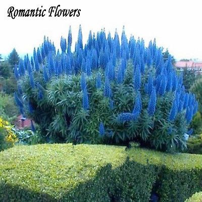 Details about rare blue pampas grass seeds flower garden for Small blue ornamental grass