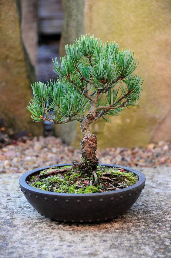 Japanese White Pine, Shohin Bonsai Tree (Pinus parvifolia) by Steve Greaves