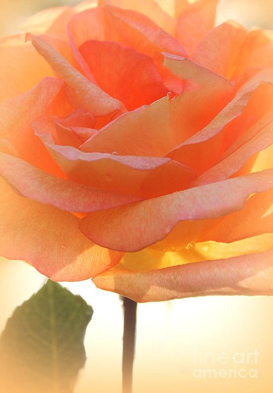 Heaven's Peach Rose Flowers Garden Love the perfect color---