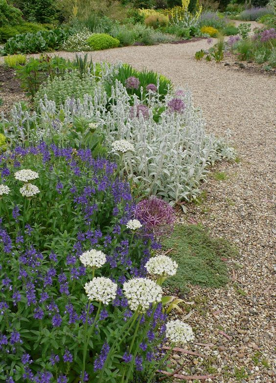 Beth Chatto's Gravel Garden. Allium Nigrum and a very wide selection of allium bulbs in the UK, try Bloms.  Cool colors in a hot garden: allium Nigrum is planted with veronica 'Kapitan', stachys byzantia, and a cristophii.