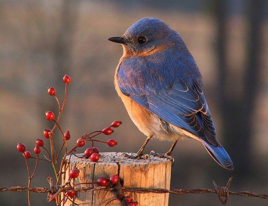 Love the lighting on this bluebird shot! Photo by Randy Quinn