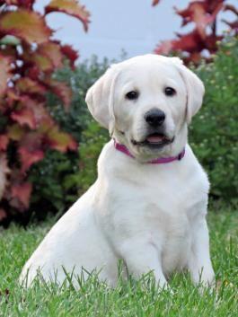 Labrador Retriever Puppies For Sale Lancaster Puppies Labrador Retriever Puppies Labrador Retriever Puppies For Sale