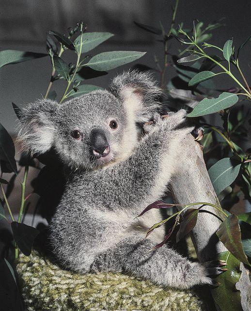 1977 - Keepers hand-rear a koala joey named Gumdrop ...
