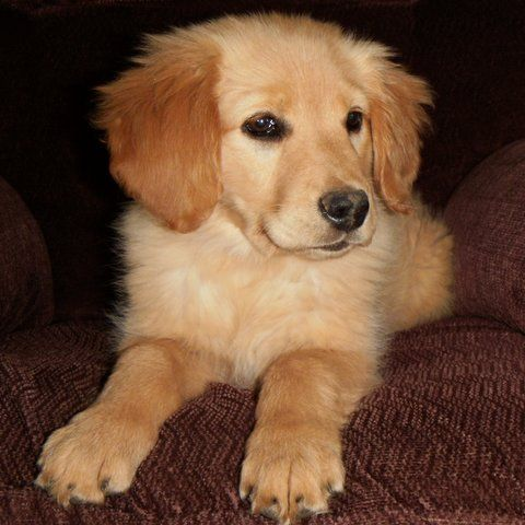 A Golden Retriever Puppy With Redder And Larger Ears Than Previous