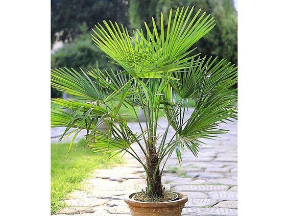 Winterharte Kübel-Palmen, 2 Pflanzen, Trachycarpus fortunei 1