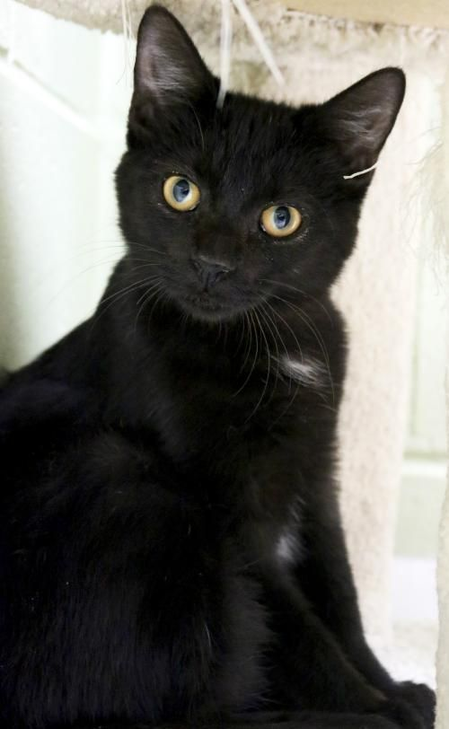 Hi I M Rick I M A 5 Month Old Neutered Male Black Domestic Short Hair Black Cat Breeds Cats And Kittens Cats