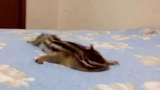 Pin By Carrie On Chipmunks Pinterest Baby Squirrel Squirrel - Cat squirrel playing cutest thing youll see day