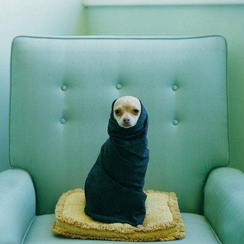 ohhh this pretentious little pooch.