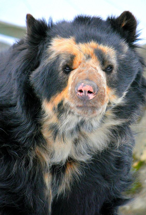 **Spectacled Bear, also known as an Andean Bear, native to South America --  I  ONE OF THE MOST BEAUTIFUL ANIMALS <3