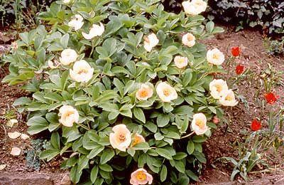 Paeoniaceae: Paeonia lagodechiana Kem.-Nath.