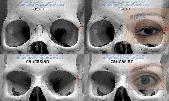 Skull structures different races that