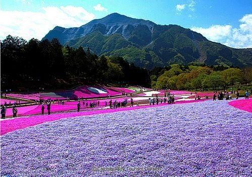 Shibazakura Flower | Japan