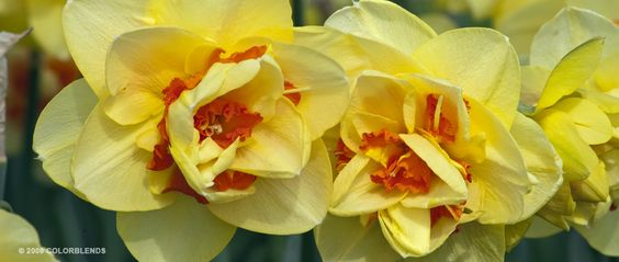 "Daffodil Bulbs cultivar ""Tahiti"" for bottom layer of bulb pot #1"