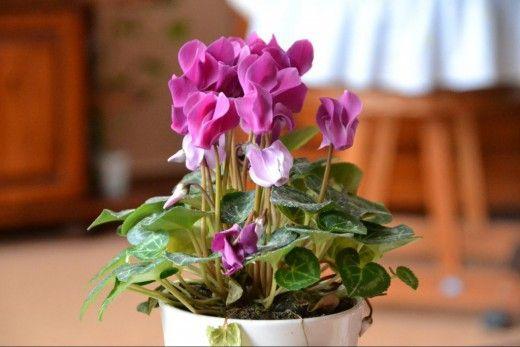 Цикламен — цветок Солнца. Популярность цикламена — этого прелестного цветущего растения — в последнее время возрастает. В комнатной культуре распространены два вида: цикламен персидский и цикламен европейский. Тот и другой вид покоряют прелестными оригинальными цветками. Цикламен персидский цветет зимой, когда немногие растения радуют ярким цветением. Цикламен, латинское — Cyclamen. Род растений из семейства Мирсиновые, относимый иногда к семейству Первоцветные(Primulaceae) и включающий в…