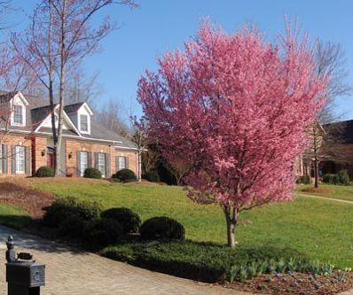 Okame cherry tree prunus for sale brighter blooms for Cherry trees for sale