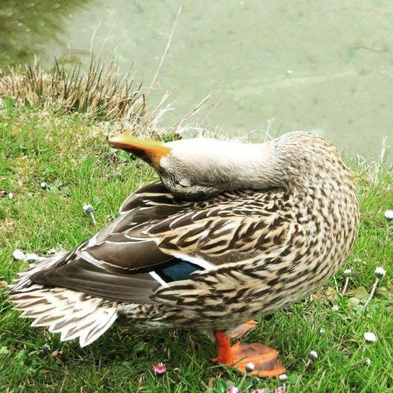 #duck #würzburg #animal #nature #naturelovers #instanaturelover #feather #relax #yoga #water #bird #waterfowl #wildlifephotography by lascorpia1011lovesmallorca