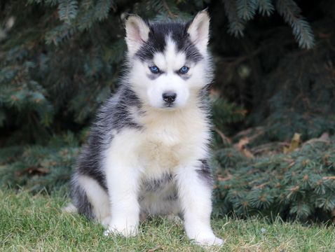 Siberian Husky Puppy For Sale In Mount Joy Pa Adn 60998 On