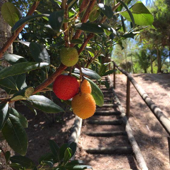Arbutus fruit...