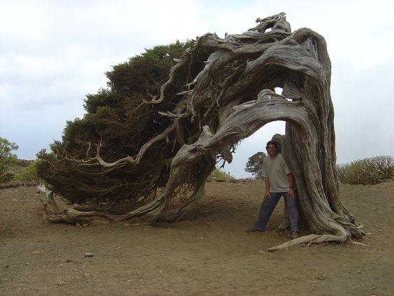 Juniperus turbinata canariensis - Isla la de El Hierro