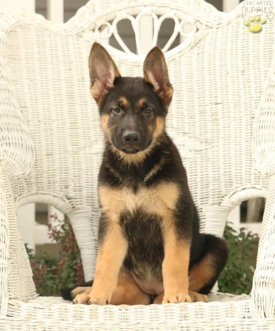 Clevergermanshepherd Germanshepherd Shepherd German Charming